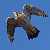 What are peregrine falcons?
