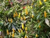 The Golden Shrimp Plant