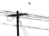 Birds Sitting on the Telephone Pole