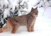Interesting facts about Lynx