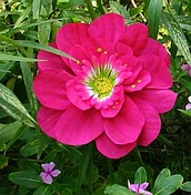 humbis flower