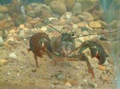 Living as a Crayfish