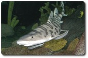 Leopard Sharks Family, and Order: