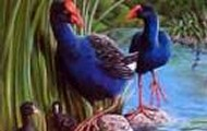 Drawing of the pukeko in the swamp with its young