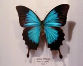 Ulysses Butterfly ( Papilo Ulysses )