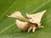 Silk Worm- Butterfly (Bombyx)