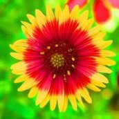 State wild flower