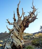 An Old Western Bristlecone Pine