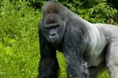 Adult Silverback Gorilla