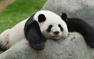 Innocent Pandas!