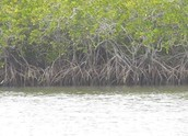 Learning more about Mangroves