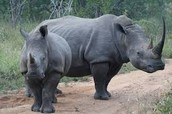 A Javan Rhino and it's son.