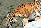 Different Types of Tigers And Population