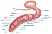 Body plan of an earth worm