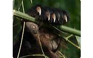 Red Panda's pseudo-thumb