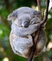 Timmy the koala