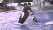 This shows a trainer getting crushed during a daily swim with a whale, almost all his his bones where broken