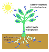 How does water enter a plant and get to the leaves?