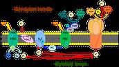 Thylakoid Membrane