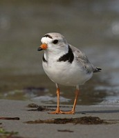 Piping Plover from Pea Island