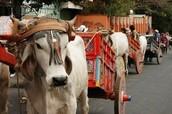 Oxcart parade in Escazu