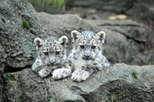 Two baby cubs