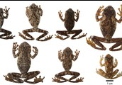 Variation in Frogs