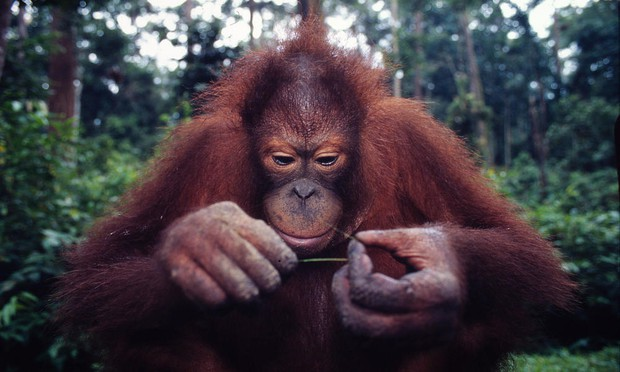 The Orangutans of Indonesia | Smore Newsletters