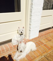 Chiste Family Dogs- Remi and Chester