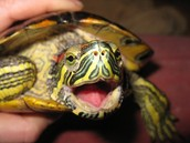 Red-Eared Slider Turtle Yawns