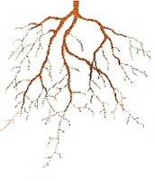 roots store water