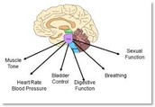 What your brain stem contols