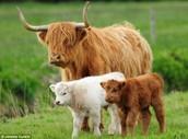 Albino Highland Calf