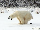 Remember when THIS POLAR BEAR POOPED?