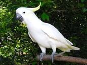 More About The Cockatoo