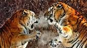 Territorial Tigers