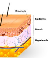 Three layers : Epidermis, Dermis and Hypodermis