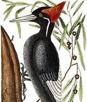 Ivory-billed woodpecker:Male