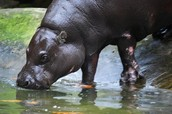 pigmy hippos