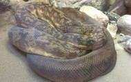 Reticulated Snake