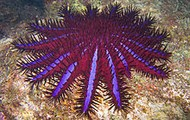 Crown-of-thorns Starfish (Acanthaster planci)
