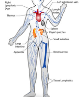 Accessory organs of the immune system