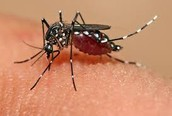 How to get the Zika virus.