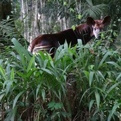 What is the Okapi's culture?
