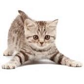 Jr. Are Kawaii kitten for sell