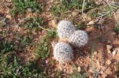 Scientific:𝑀𝑎𝑚𝑚𝑖𝑙𝑙𝑎𝑟𝑖𝑎 𝑑𝑖𝑜𝑖𝑐𝑎, Common:Fish Hook Cactus