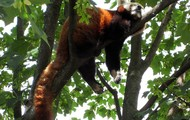 The Red Panda is Sleeping