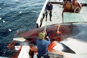 Whaling in Norway