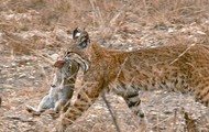 Bobcat with fresh meal