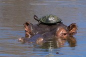 This hippo found a turtle.